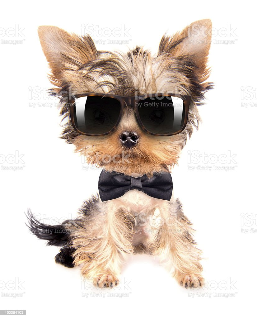 dog wearing a neck bow and shades stock photo
