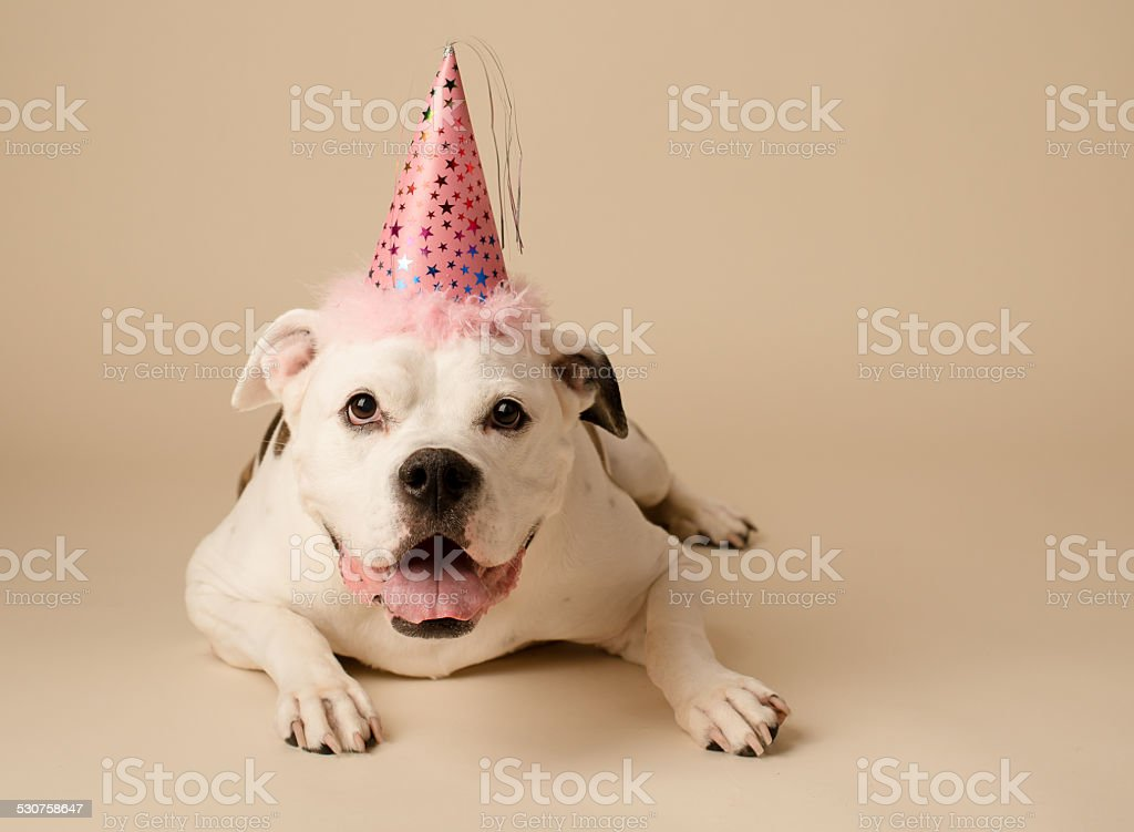 American Bulldog wearing birthday hat