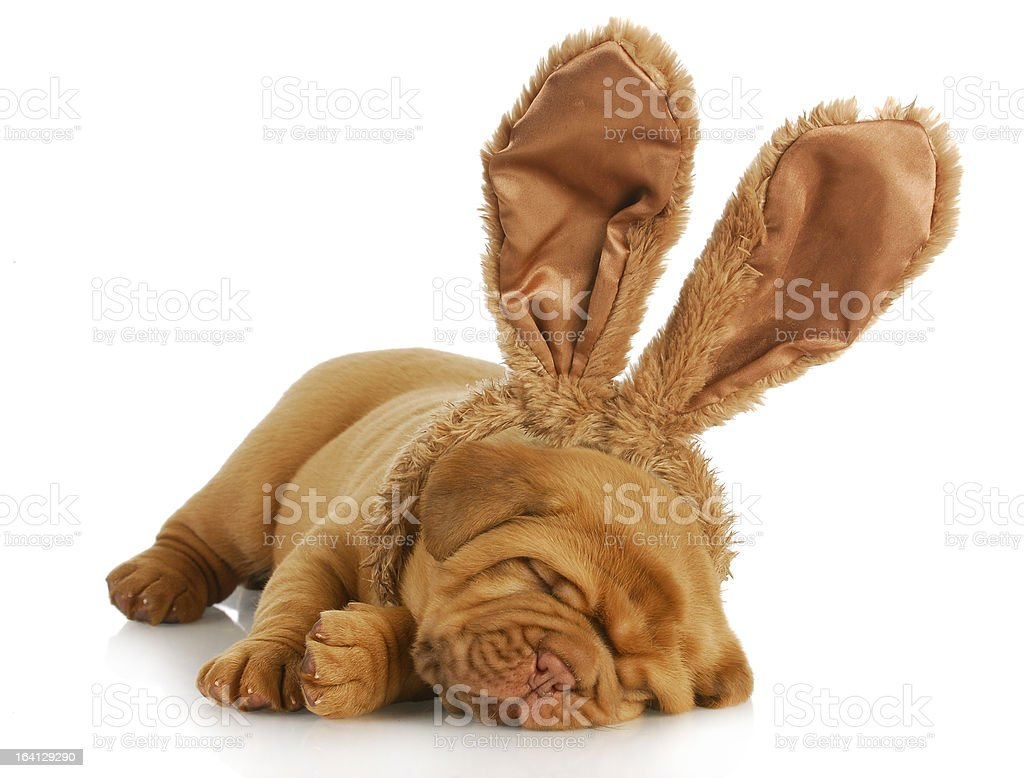 dog wearing bunny ears royalty-free stock photo
