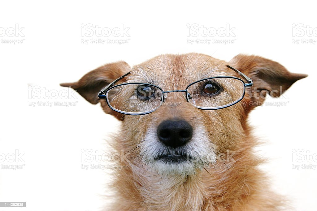 Dog wearing glasses royalty-free stock photo