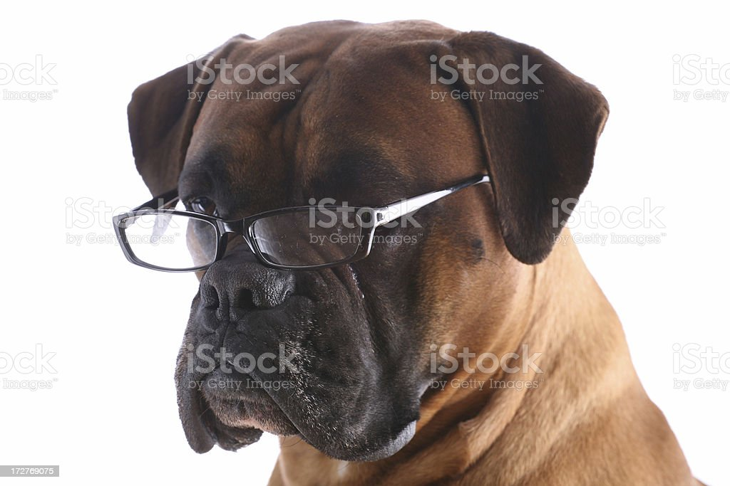 Dog wearing glasses royalty-free stock photo