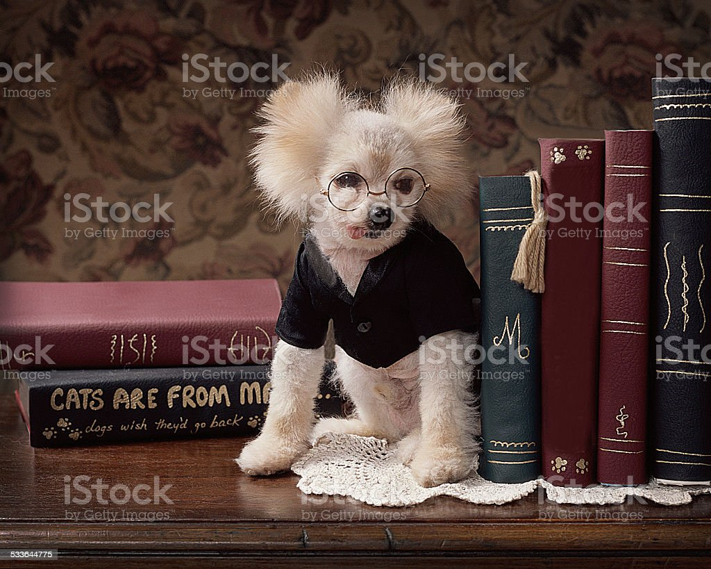 dog wearing glasses pretends to be bookend at library stock photo