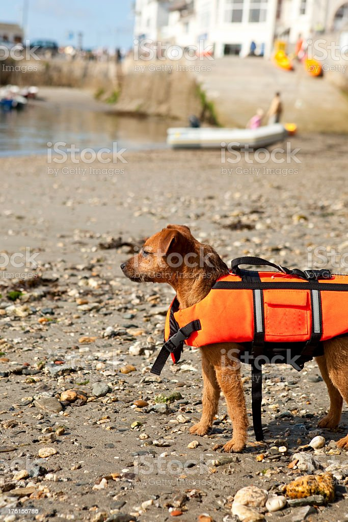 dog wearing life jacket so safe in and around water royalty-free stock photo