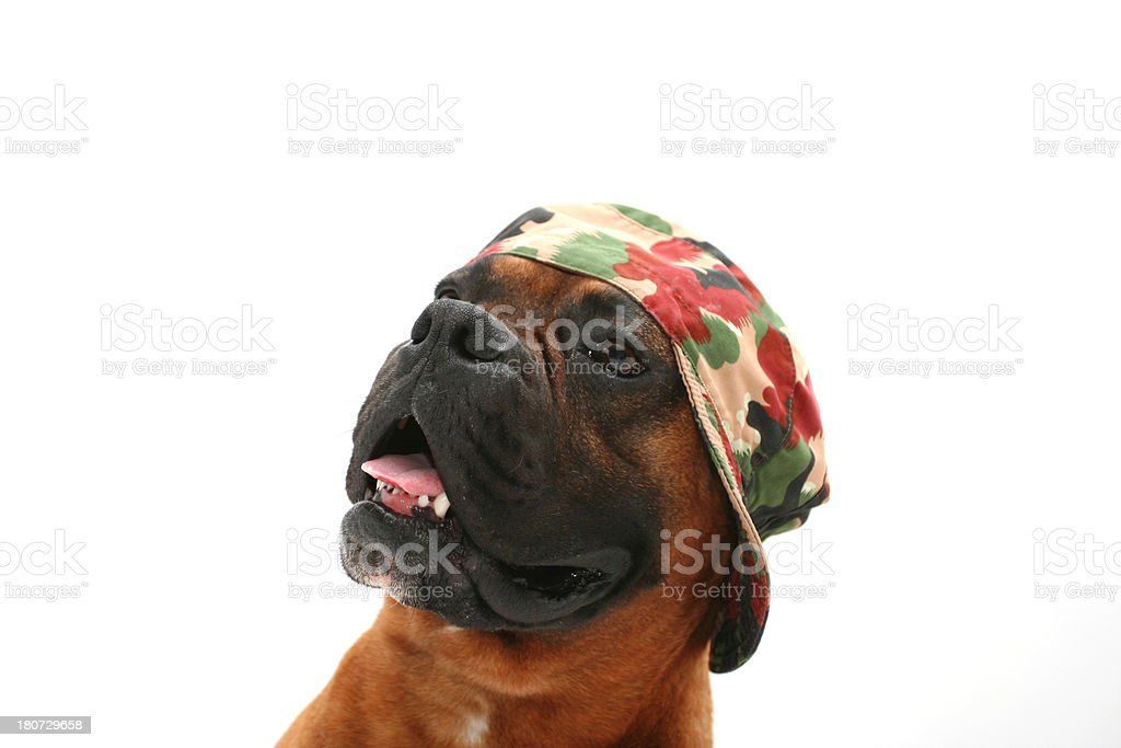 Dog wearing military hat royalty-free stock photo
