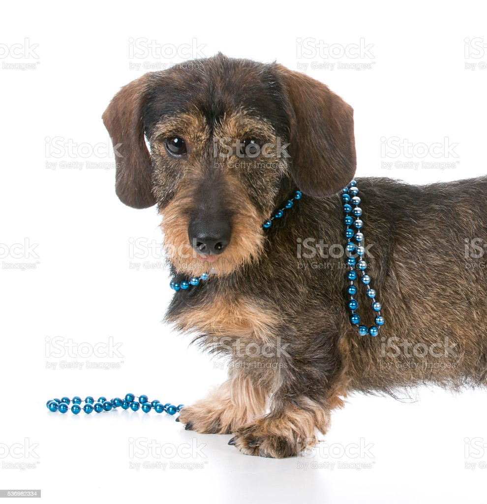 dog wearing necklace stock photo