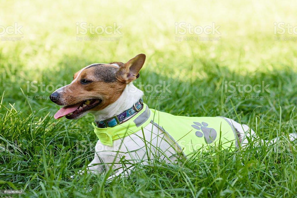 Dog wearing safety reflecting light vest stock photo