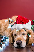Dog wearing Santa hat tangled in Christmas lights