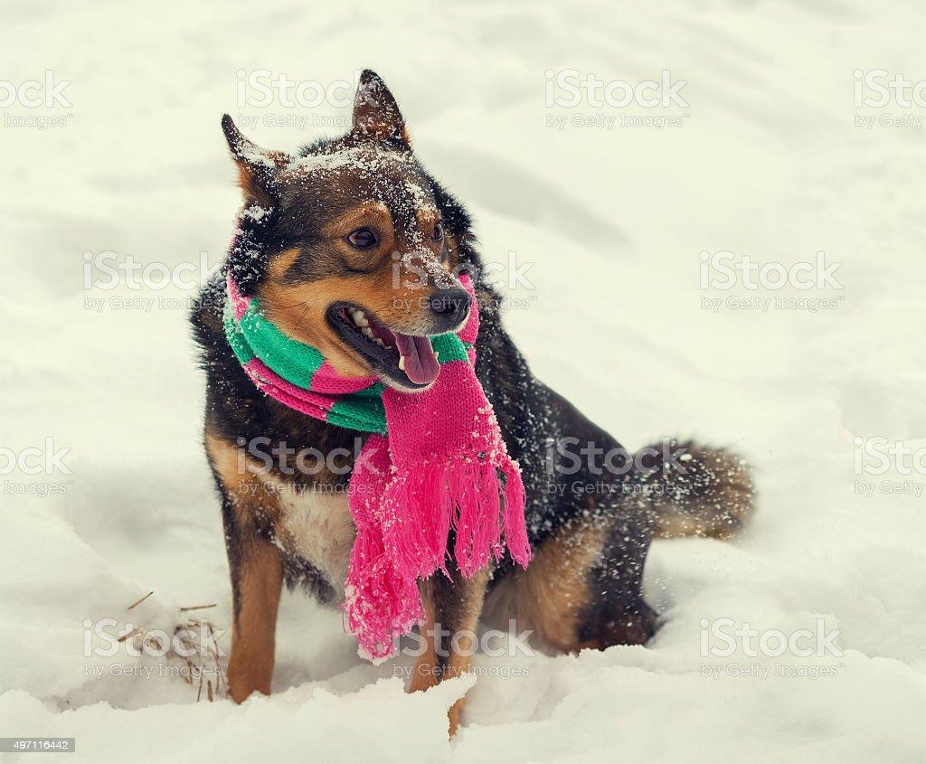 Dog wearing scarf walking outdoor in winter stock photo