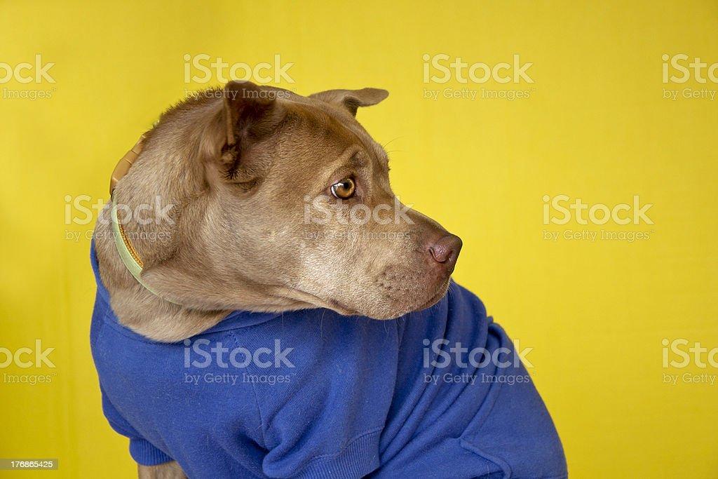 dog wearing sweatshirt royalty-free stock photo