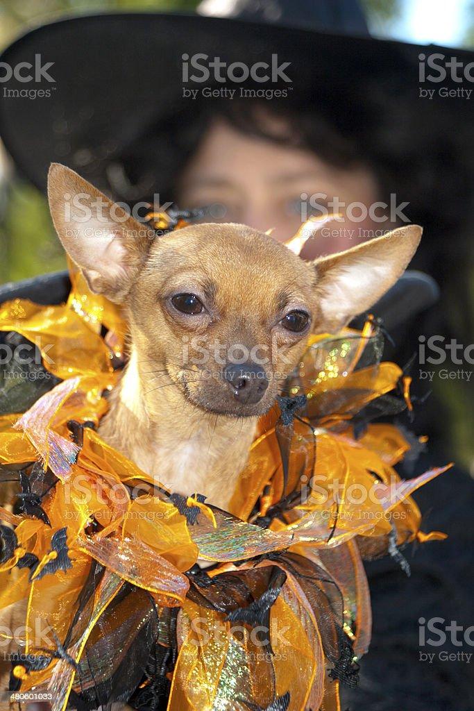 Dog Wearing Witch Costume stock photo