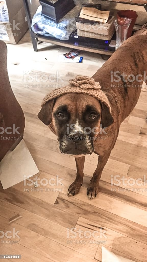 dog wears a headband and makes silly face stock photo