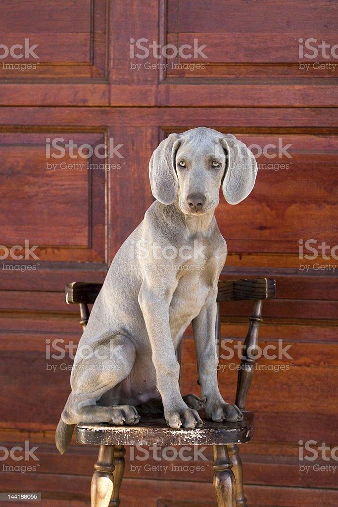 dog weimaraner royalty-free stock photo