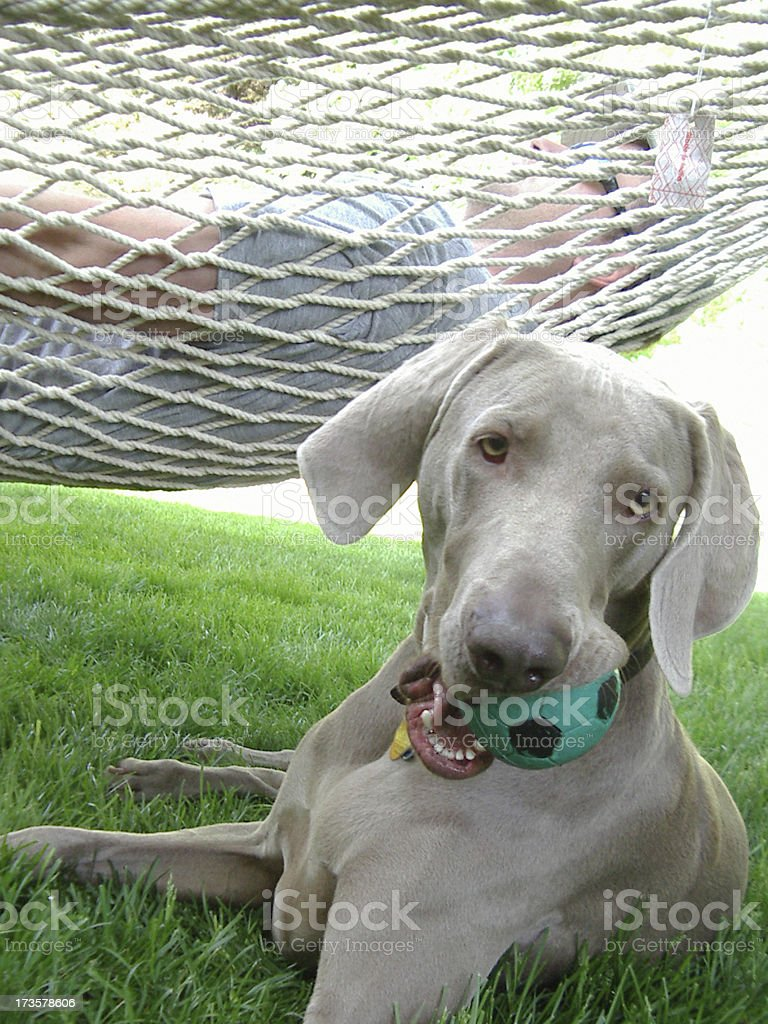 Dog - Weimaraner with Toy (Hammock in Background) royalty-free stock photo