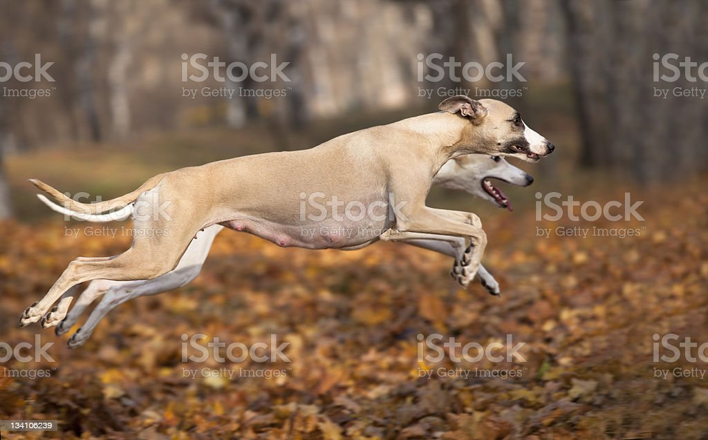 dog whippet  jump royalty-free stock photo