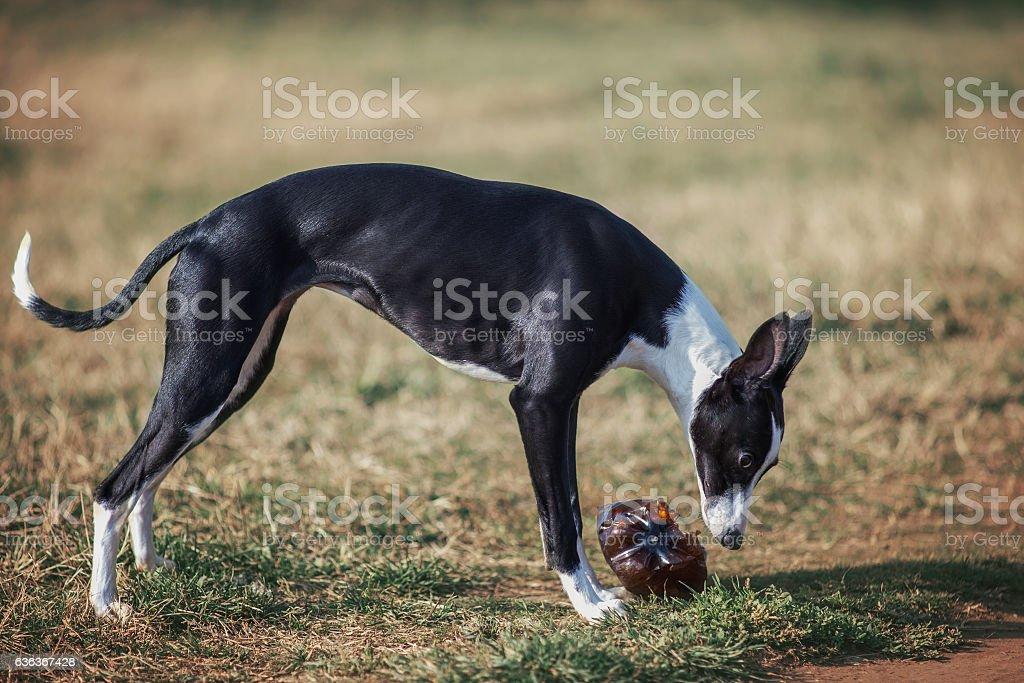 Dog whippet outside playing stock photo
