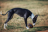 Dog whippet outside playing