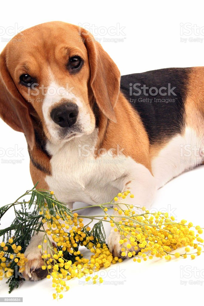 dog whith flowers royalty-free stock photo