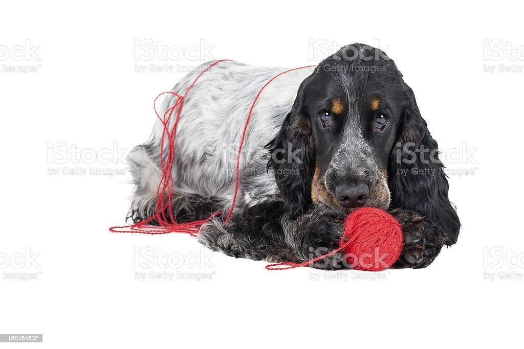 dog (English Cocker ????????) with a ball royalty-free stock photo