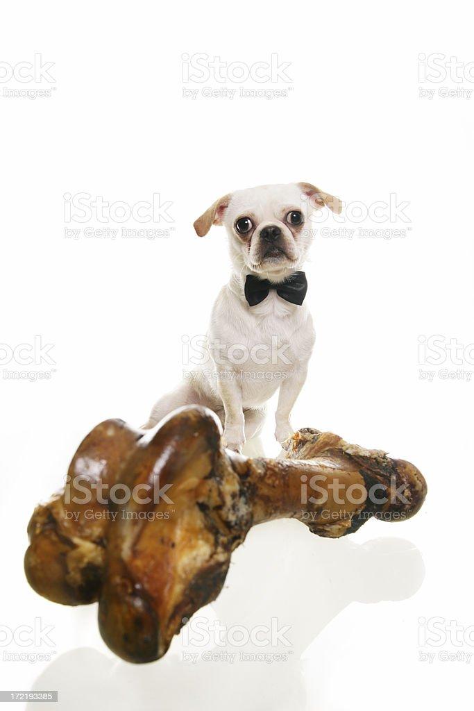 Dog with a big bone royalty-free stock photo