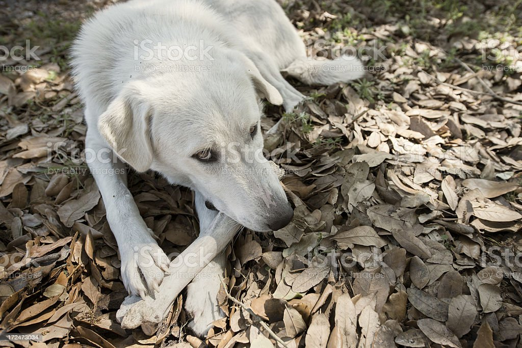 Dog with a Bone royalty-free stock photo
