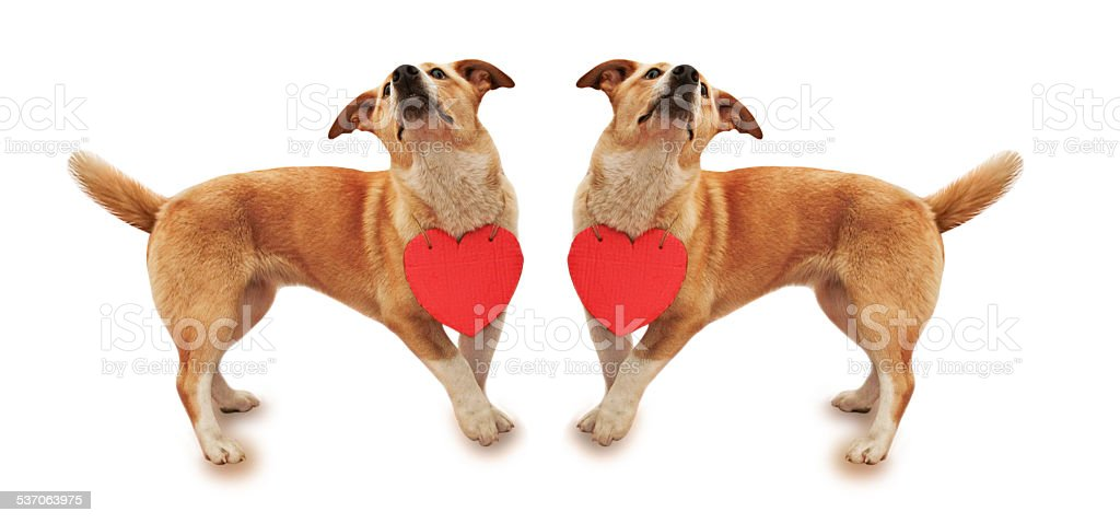 Dog with a card in the form of heart stock photo