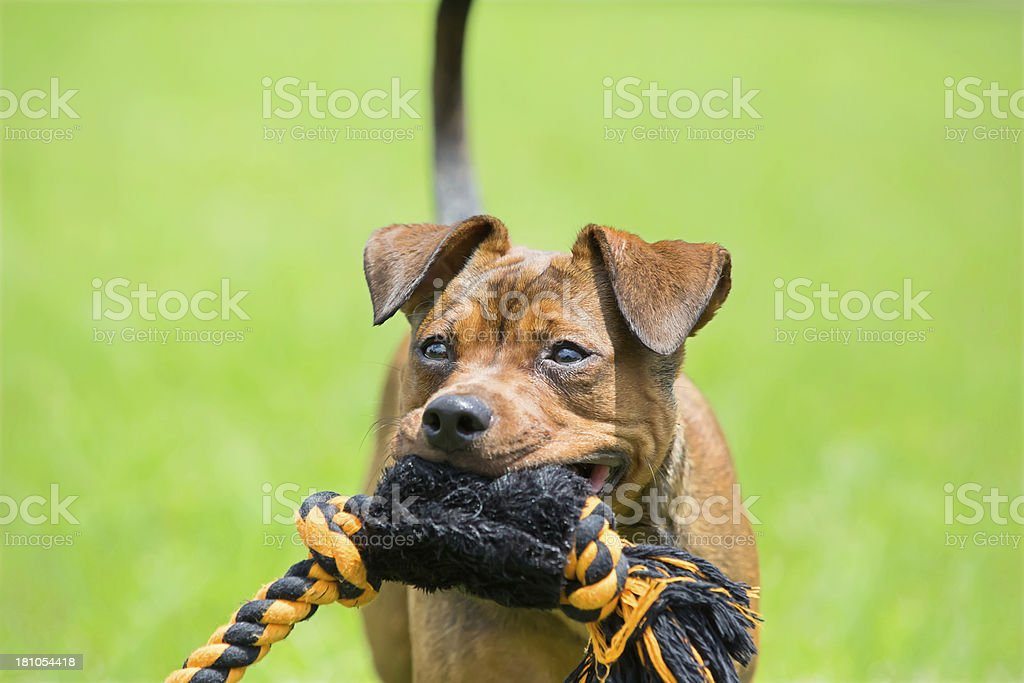 Dog with a chew toy royalty-free stock photo