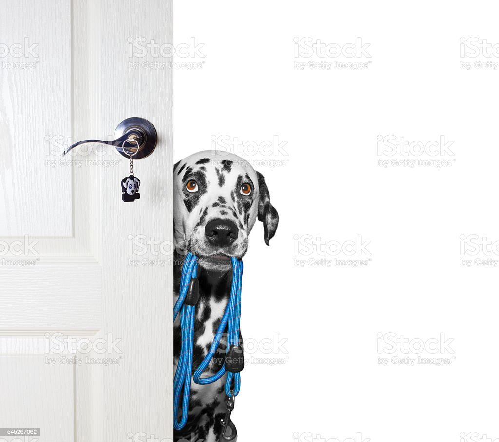 Dog with a leash peeks out from behind the door stock photo