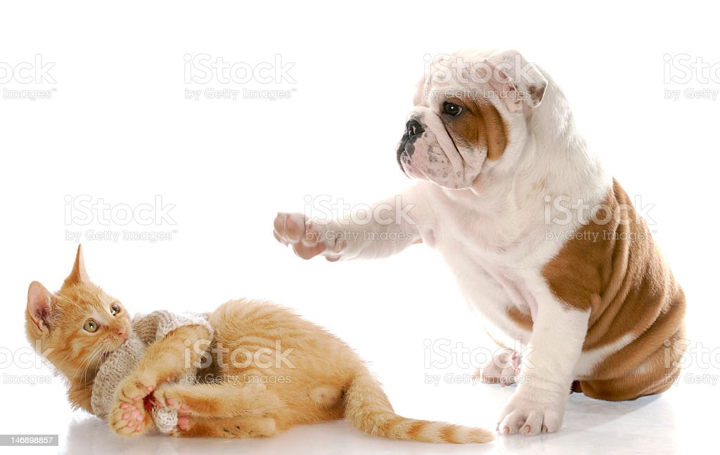A dog with a paw pointing towards an orange cat stock photo
