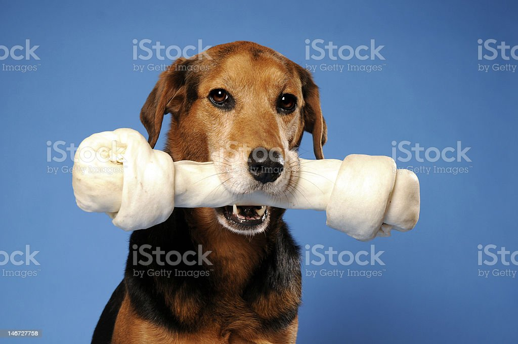 Dog with a very large bone stock photo