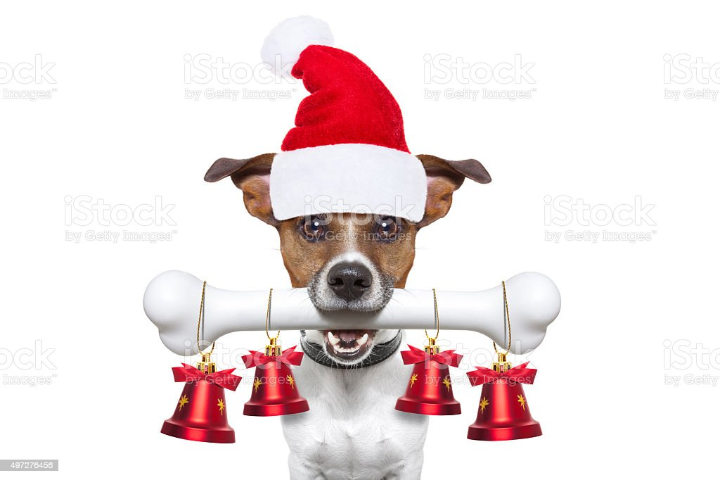 dog with a white bone for christmas stock photo