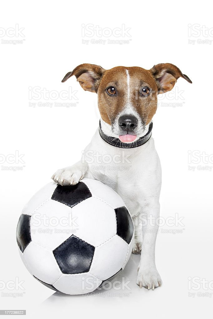 Dog with a white soccer ball isolated on white  royalty-free stock photo