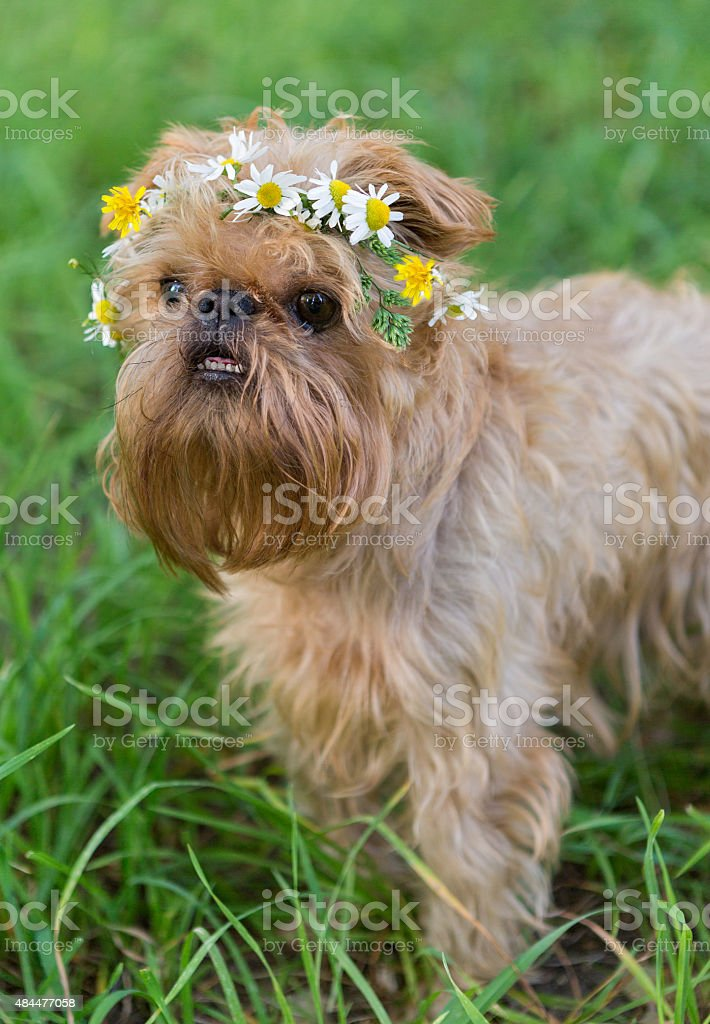 Dog  with a wreath of daisies stock photo