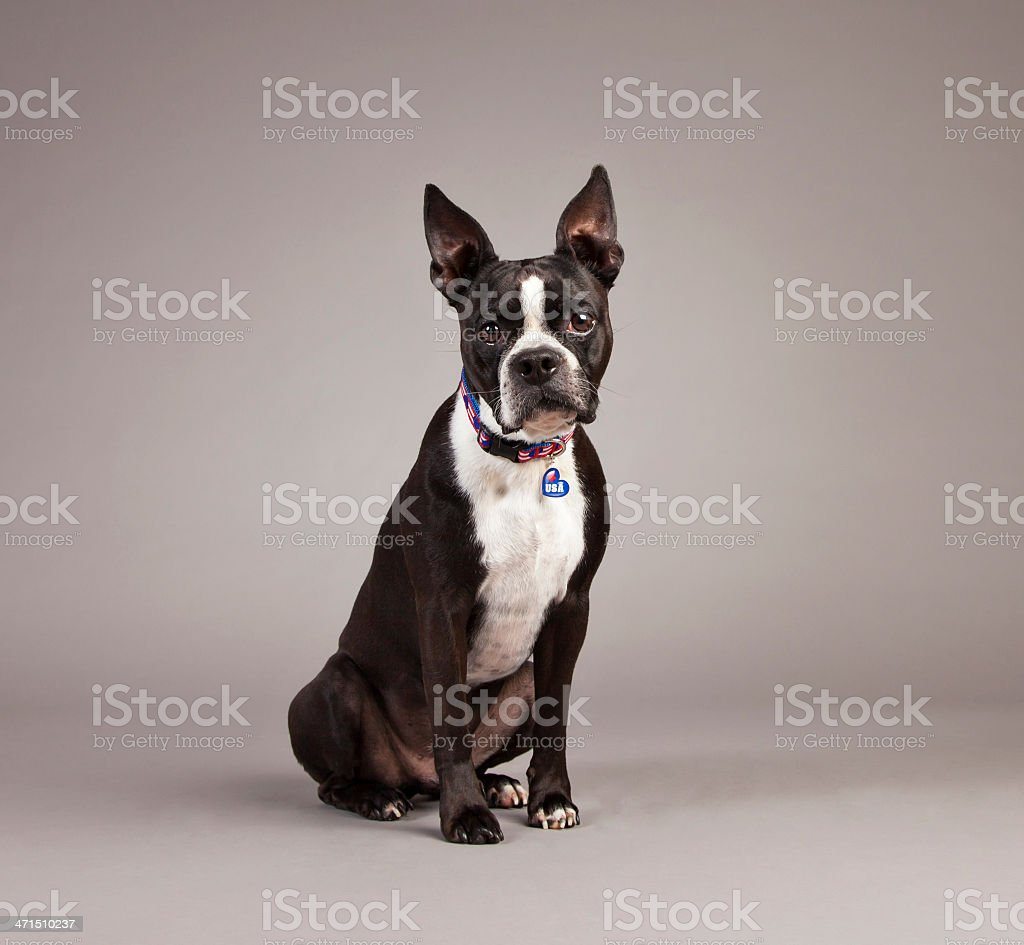 Dog with American Flag Collar royalty-free stock photo