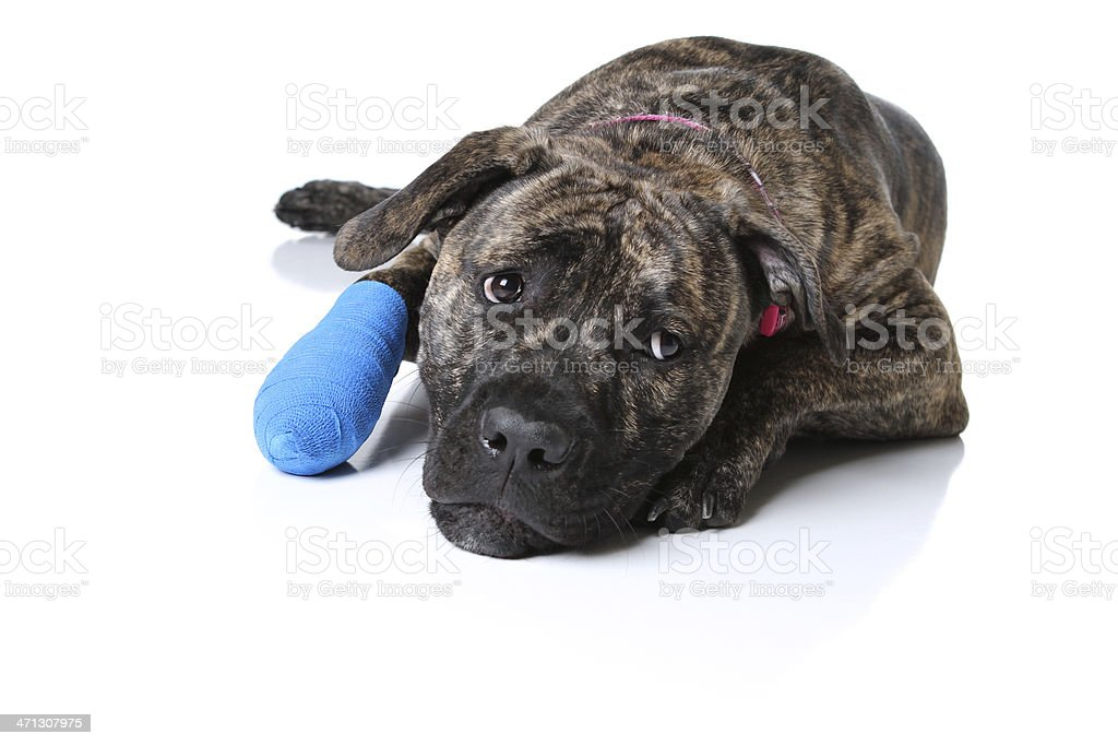 Dog with Bandaged Paw royalty-free stock photo