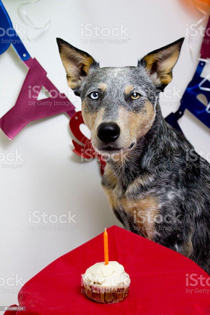 Dog with birthday cupcake stock photo