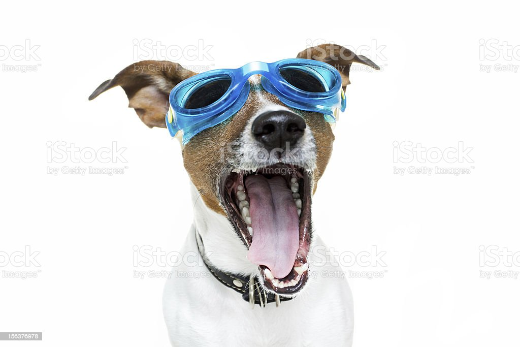Dog with blue goggles stock photo