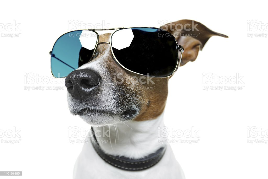 dog with blue shades frontal stock photo