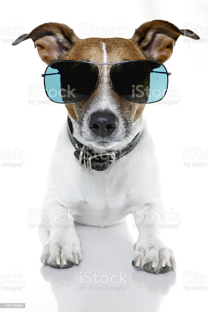 dog with blue shades frontal royalty-free stock photo