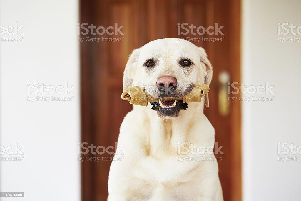 Dog with bone stock photo