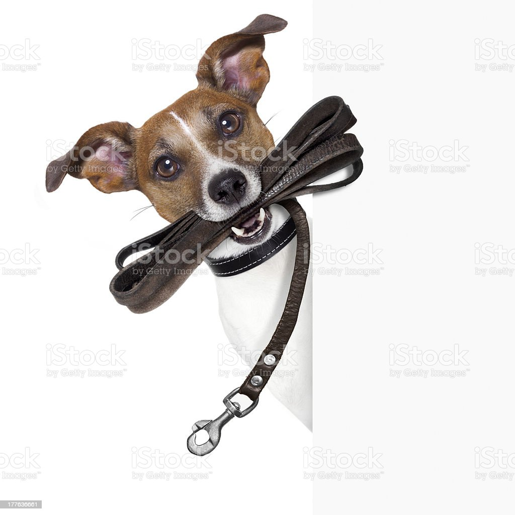 Dog with brown leather leash in its mouth stock photo