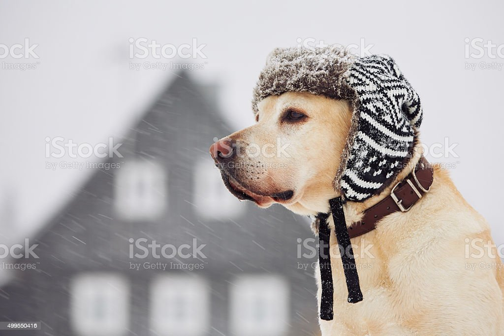 Dog with cap stock photo
