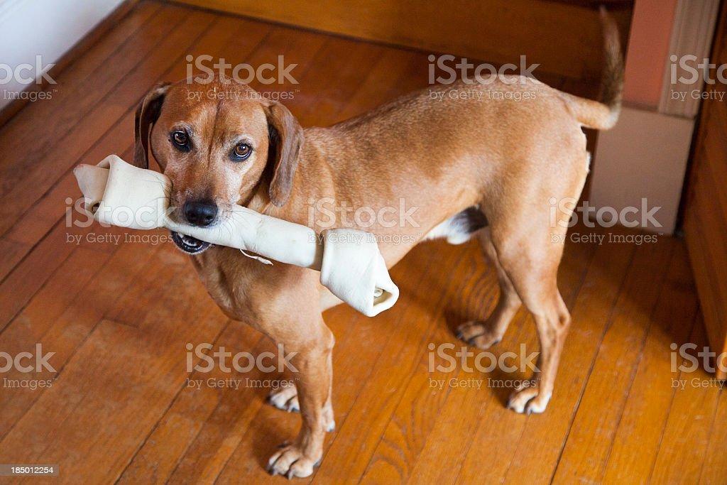 Dog with Chew Bone stock photo