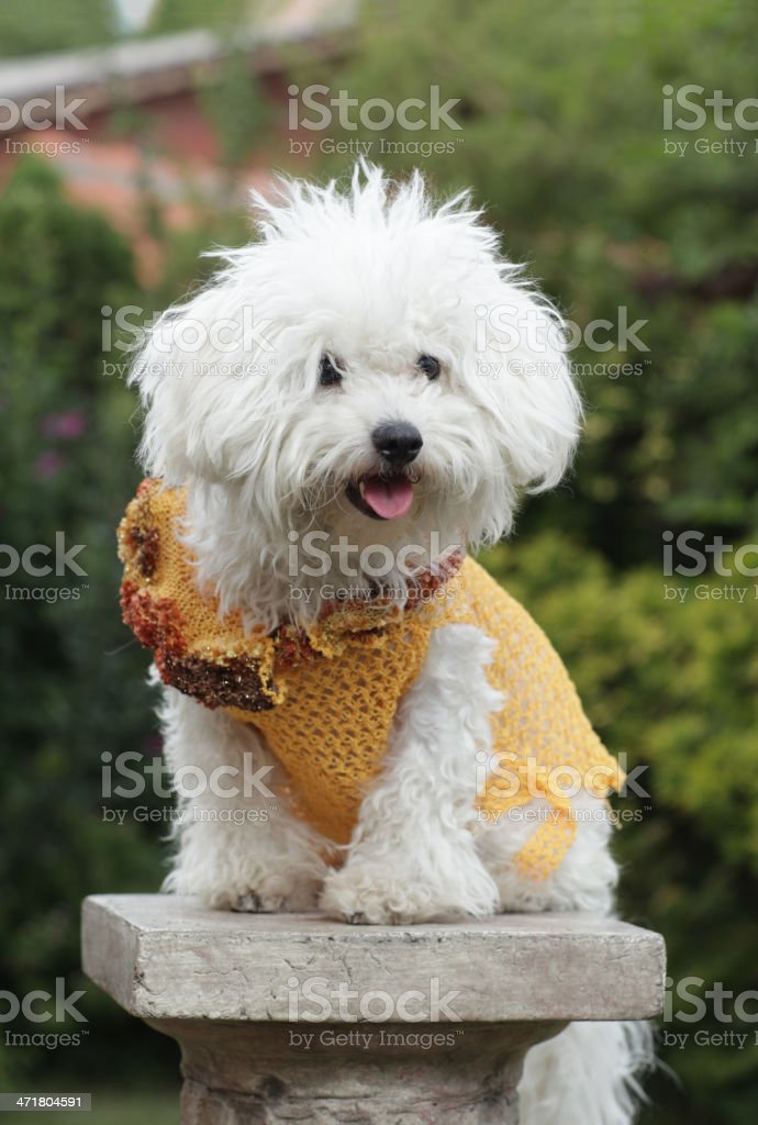 Dog with clothes royalty-free stock photo