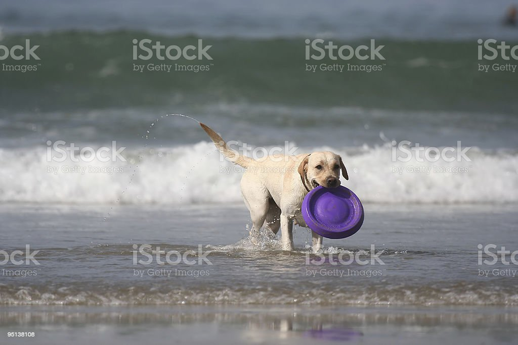 dog with disc royalty-free stock photo