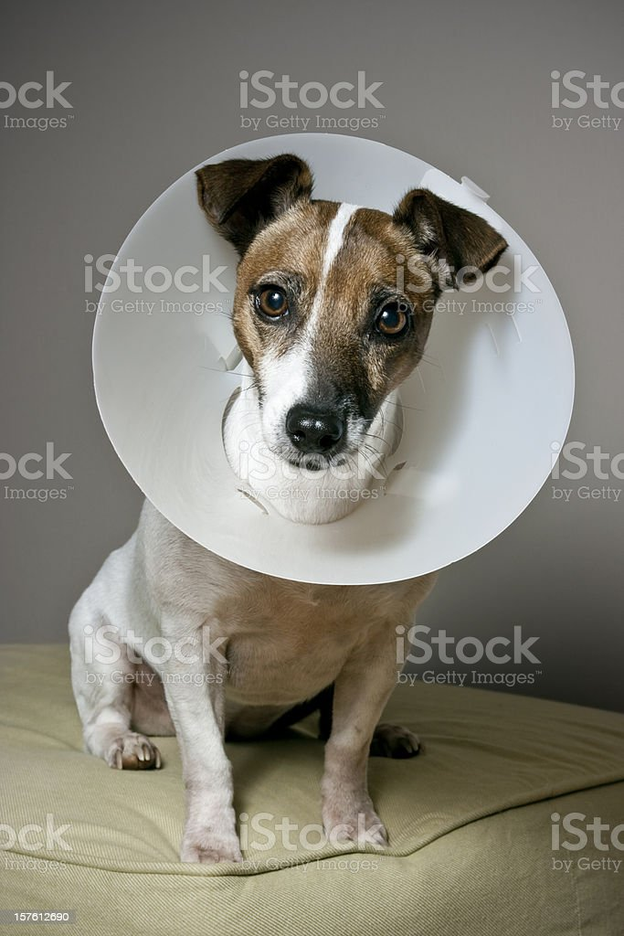 Dog with Elizabethan Collar Sitting on an Ottoman stock photo