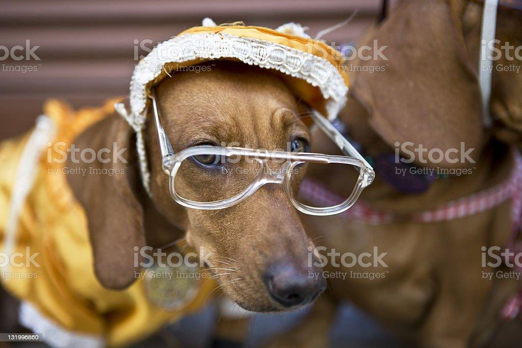 Dog with eyeglasses royalty-free stock photo