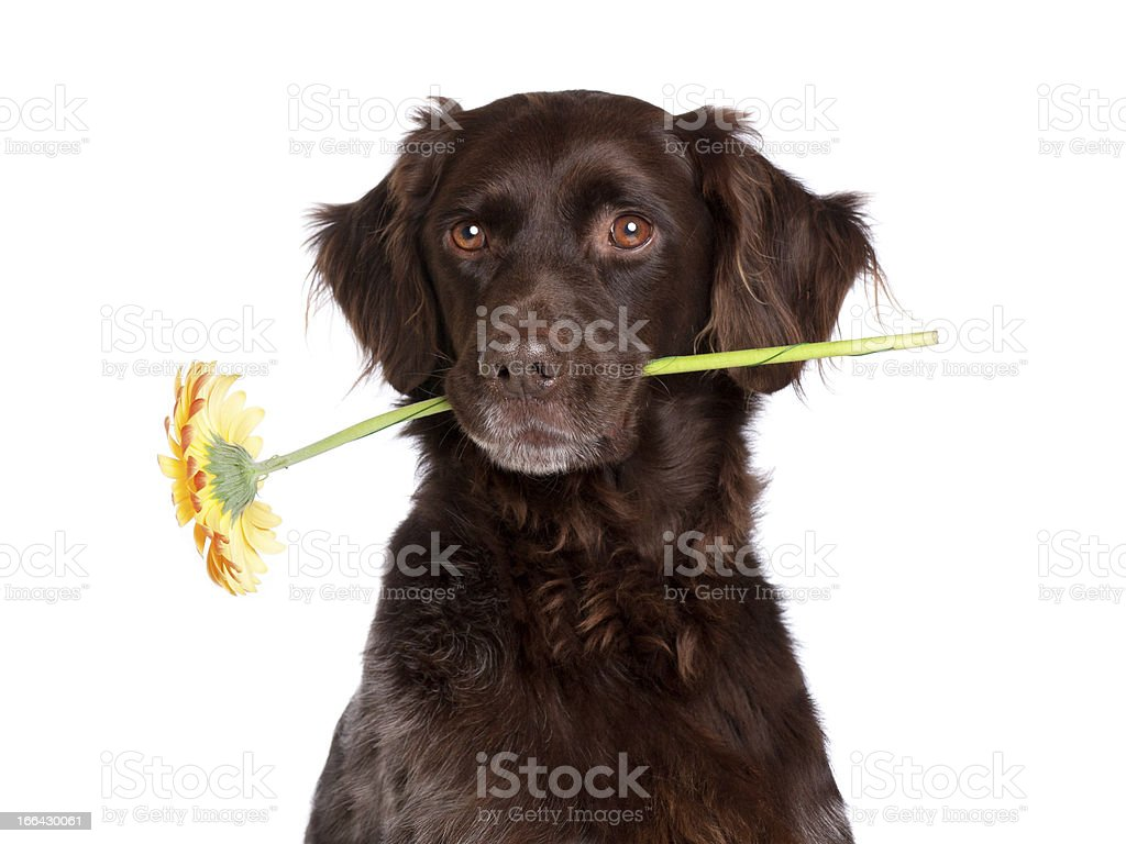 Dog with Flower royalty-free stock photo