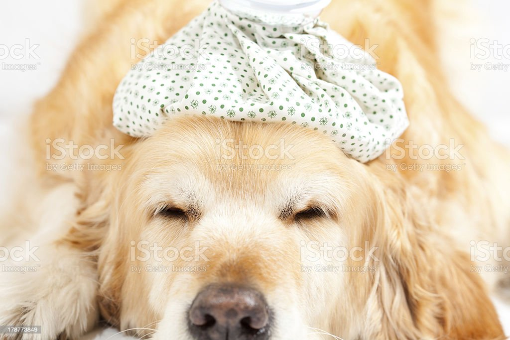 Dog with flu royalty-free stock photo