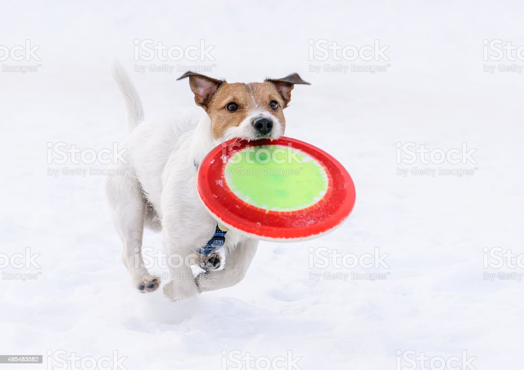Dog with flying disk running on camera (not frozen motion) stock photo