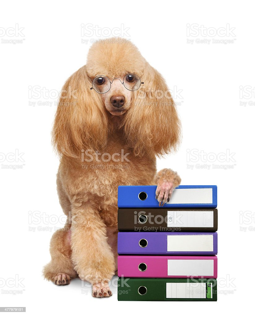 Dog with folders of documents royalty-free stock photo